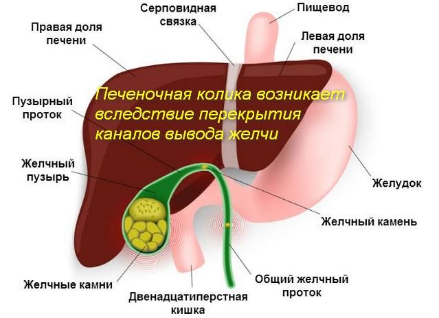 схема печени и желчного пузыря