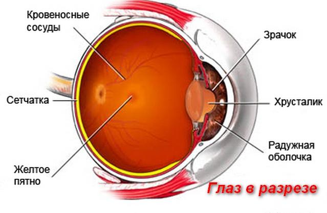 строение глаза в разрезе