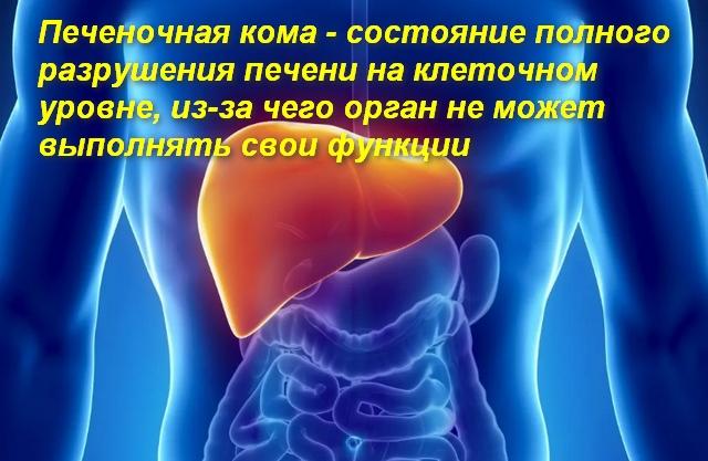 место расположение печени в теле человека